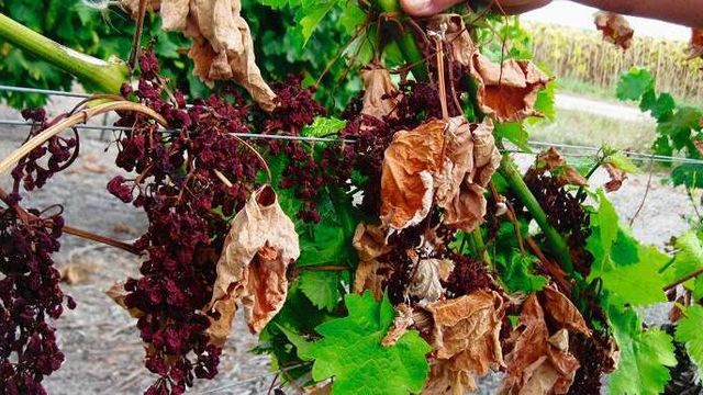 Les maladies de la vigne et les défauts du Vins